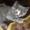 Продается шикарная голубокремовая девочка-страйт #4579