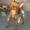 Вязка Той-Терьер #10094