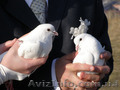 Белые голуби на свадьбу.