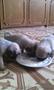 13 июня родились маленькие комочки радости. Щенки уже ждут встречи со своими хоз
